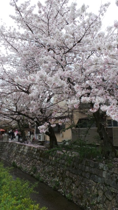 Cherry blossoms Also known as Sakura